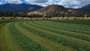 Fresh Cut 2nd Cutting Alfalfa