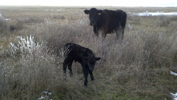 First Calf of 2011