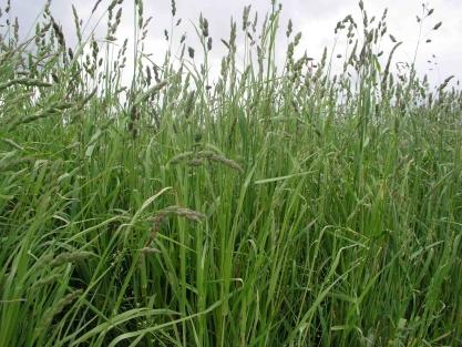 What does oat bran look like