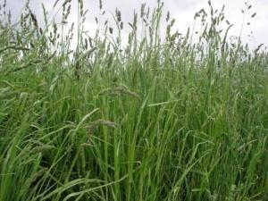 Orchard Grass Pasture