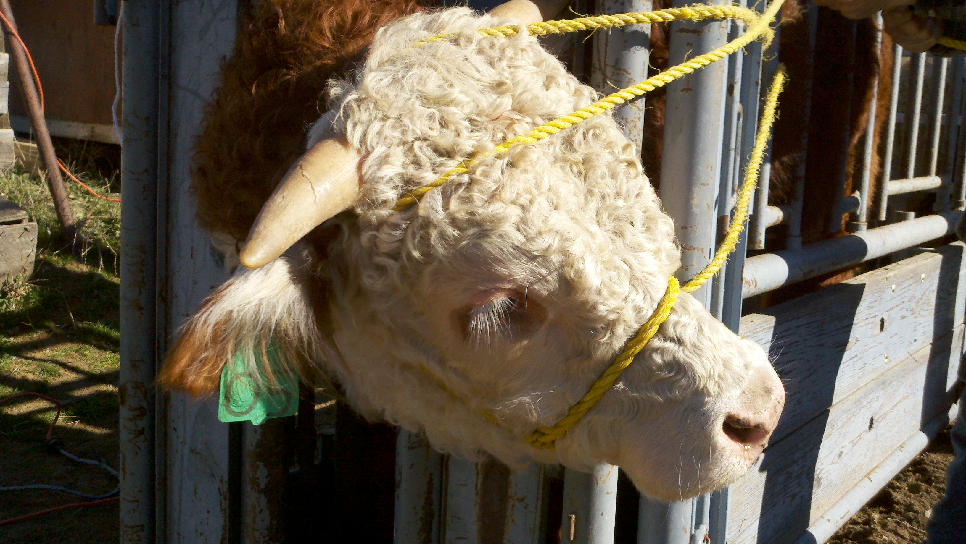Tipping Horns | Common Sense Agriculture's Blog Horns Growing Out Of Head