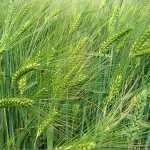Barley, Annual