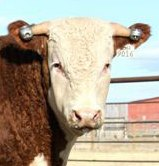 Hereford Bull With Horn Weights