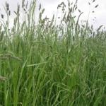 Orchard Grass, Perennial
